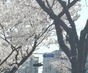 조치원 강변 벚꽃로드